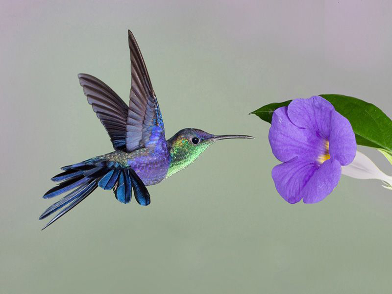 How Diving Hummingbirds Flatter With A Flutter